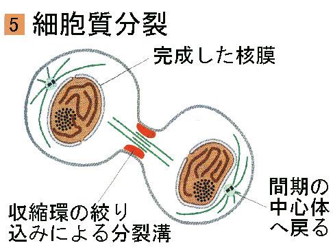 cytokin.jpg